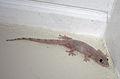 Hemidactylus mabouia in Coulibistrie, Dominica d02.jpg