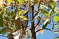 Hermit Warbler (male) Huachuca Canyon (upper) Sierra Vista AZ 2019-05-05 12-38-23 (40817547423).jpg
