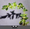 Herniaria glabra sl1.jpg