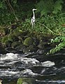 Heron by the Erme - geograph.org.uk - 1411208.jpg