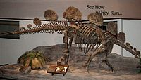 Hesperosaurus mjosi skeleton.JPG