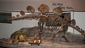 Skelett von Hesperosaurus mjosi im North American Museum of Ancient Life