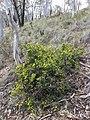 Hibbertia ericifolia habit.jpg