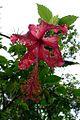 Hibiscus 2.jpg