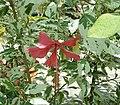 Hibiscus rosa-sinensis2 ies.jpg
