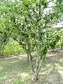 Hibiscus syriacus - Nagai Botanical Garden - DSC07640.JPG
