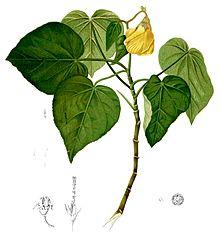 Hibiscus Tiliaceus Wikipedia