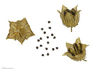 Hibiscus trionum - Hibiscus trionum – MHNT