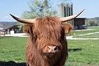 Highland cattle kopf.jpg