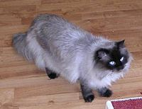 Himalayan cat percy.jpg
