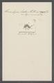 Himantopus ludio - - Print - Iconographia Zoologica - Special Collections University of Amsterdam - UBAINV0274 113 17 0018.tif