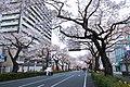 Hitachi Sakura Festival, Ibaraki 10.jpg