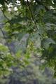 Hoher Vogelsberg Wannersbruch NR 319289 Acer pseudoplatanus det.png