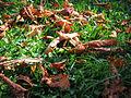 Hojas de árbol en la hierba.pav.jpg