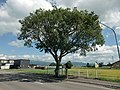 Hokkaido Prefectural Route 756-Tree from which the place name IPPONGI was derived(Japanese elm).jpg