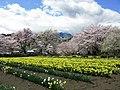 Hokuto Yamanashi Jissoji Narcissus Field And Cherry Tree 1.JPG