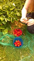 Home grown strawberry harvest June 2020.jpg