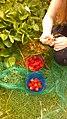 Home grown strawberry harvest June 2020.jpg