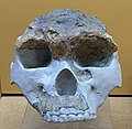 Homo erectus lantianensis IMG 5656 BMNH.jpg