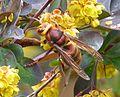 Hornet. Vespa crabro - Flickr - gailhampshire.jpg