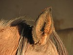Horse-ear-closeup-0a.jpg