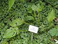 Hosta rectifolia - Botanischer Garten, Frankfurt am Main - DSC03283.JPG
