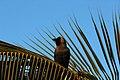 House crow (Corvus splendens) from Villupuram dt IMG 3909 .jpg