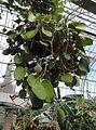 Hoya loyceandrewsiana plant.JPG