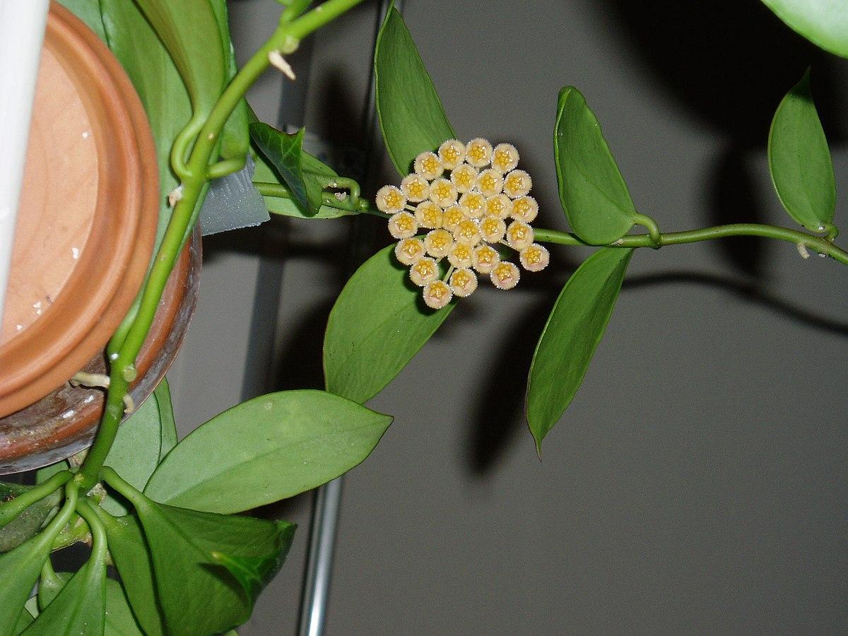 Shade Of Green >> Hoya obscura - Wikipedia