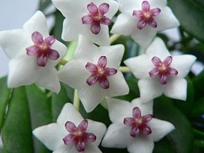 Hoya lanceolata subsp. bella