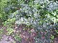 Hulst heet met de latijnse naam ilex, de bladeren hebben doorntjes en dit struikje is een mannelijk exemplaar.JPG