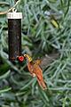 Hummingbird (6797506477).jpg