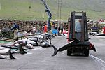 Atlantic White-sided Dolphin caught in a drive hunt in Hvalba on the Faroe Islands being taken away with a forklift