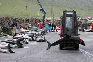 Dolphin drive hunting - Atlantic white-sided dolphin caught in a drive hunt in Hvalba on the Faroe Islands being taken away with a forklift
