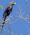 Hyacinth Macaw (Anodorhynchus hyacinthinus).jpg