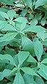 Hybanthus concolor 0602181445d.jpg