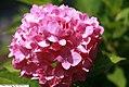 Hydrangea macrophylla Bailmer 1zz.jpg