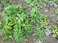 Hydrophyllum virginianum 2017-04-17 7887.jpg