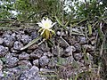 Hylocereus triangularis-2 Rich Hoyer.JPG