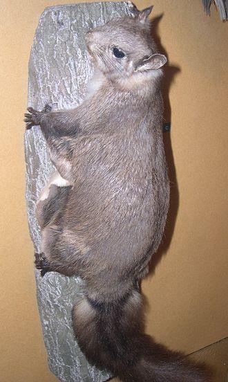 Hylopetes - Palawan flying squirrel (Hylopetes nigripes)