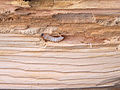 Hylotrupes bajulus (huisboktor) (1).jpg