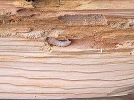 Larve in grenenhout