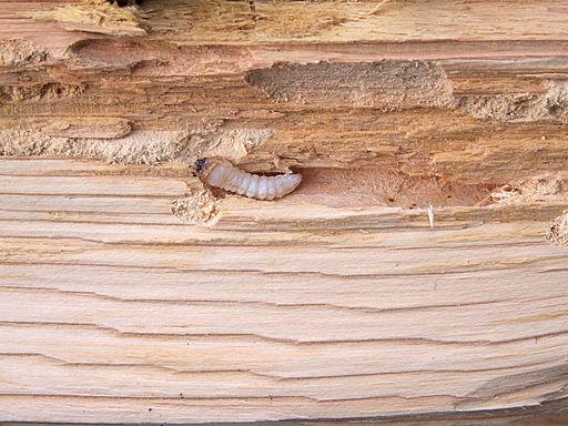 larve van de huisboktor