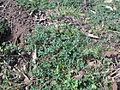 Hypericum perforatum plant11 (14609463406).jpg