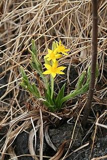 <i>Hypoxis</i> Genus of flowering plants