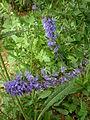 Hyssopus officinalis 1c.JPG