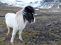 Icelandic Horse. - Flickr - gailhampshire.jpg