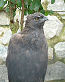 Ictinaetus malayensis, the Black Eagle (12644789735).jpg