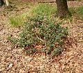 Ilex aquifolium 06 ies.jpg