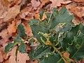 Ilex aquifolium 107492609.jpg